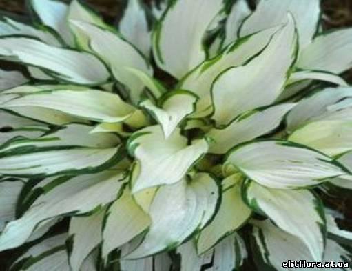 Комнатные Растения Глоксиния