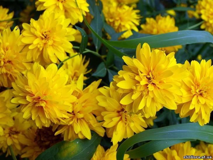 Цветы садовые желтые многолетние названия 7