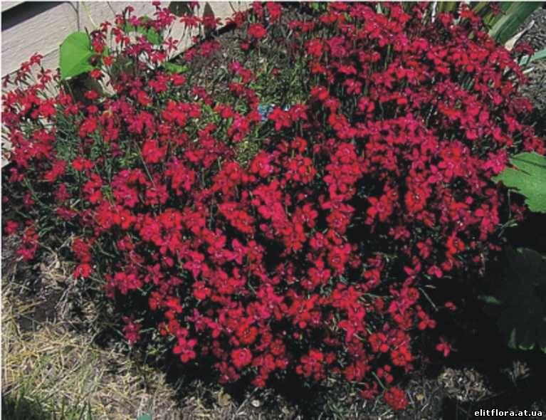 Цветы гвоздика многолетняя цветов